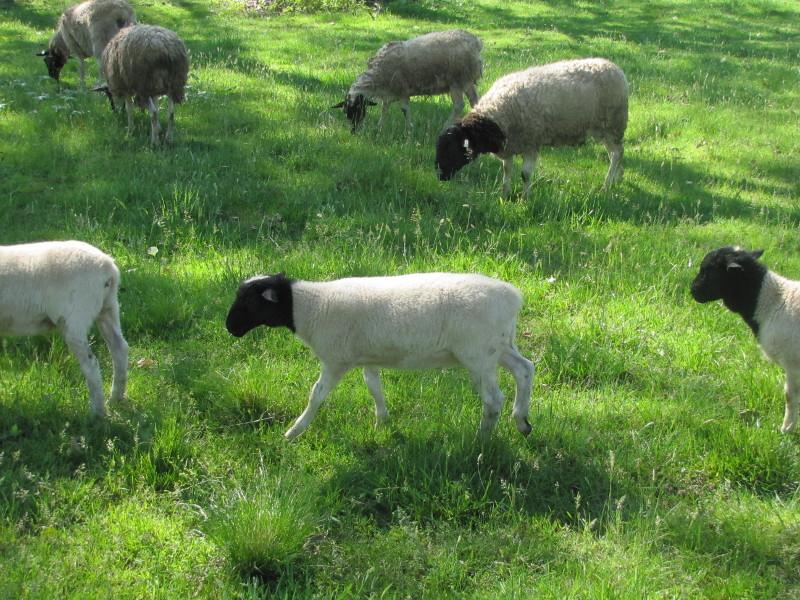 Bubblin' Brook Farm - Registered Dorper Sheep in Pennsylvania