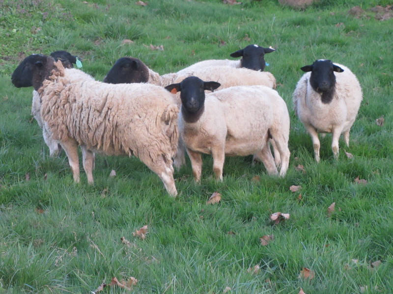 Small flock of sheep